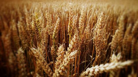 Купим пшеницу оптом по всей России и в странах СНГ