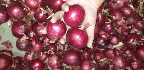 Лук красный сорт Ялтинский (17кг) (Россия) калибр 40-50мм.