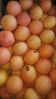 Грейпфрут красный сорт Рио Ред (ЮАР) 8-9см, 15кг/шт