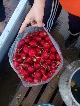 Редис красный (Израиль) (сорт Селеста F1), п/пакет 12кг/шт