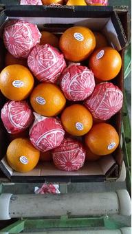 Апельсин (Египет) (сорт Валенсия) 7-8см 15кг/шт
