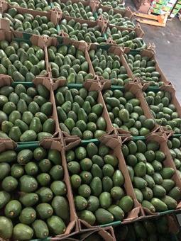 Авокадо (Марокко) (сорт Зутано) 7-9см 7кг/шт
